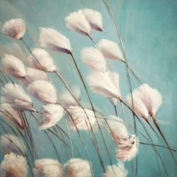Cotton grass flowers in the wind