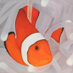 Clownfish under the sea