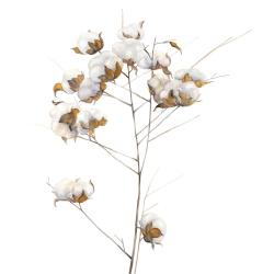 Cotton flowers branch
