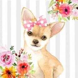 Coquet chien chihuahua