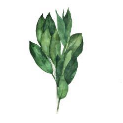 Bouquet de feuilles de laurier