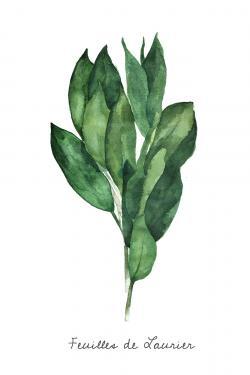 bay leaves bundle - fr
