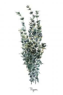 Thyme leaves bundle - fr