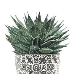 Succulent haworthia