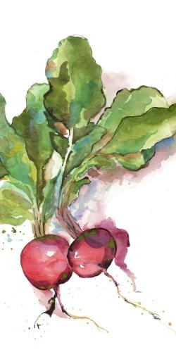 Watercolor radish