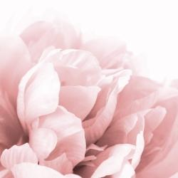 Peony flower dream