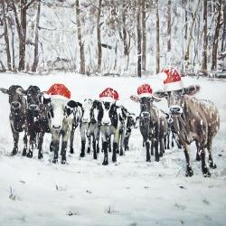 Curious christmas cows