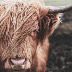 Desaturated highland cow