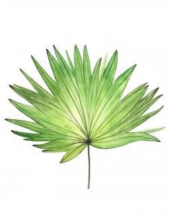 Petticoat palm