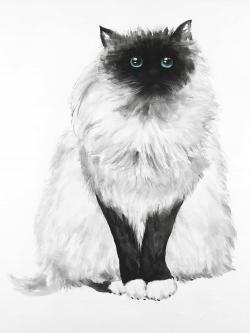 Blue eyes fluffy siamese cat