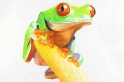 Curious red eyed frog