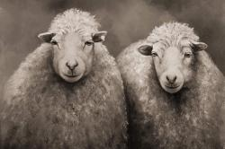 Sheep sepia
