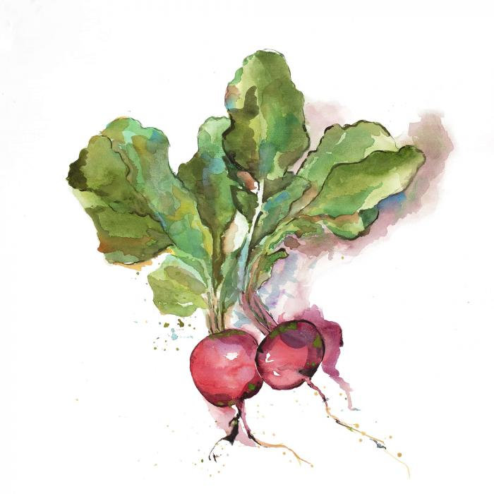 Watercolor radish