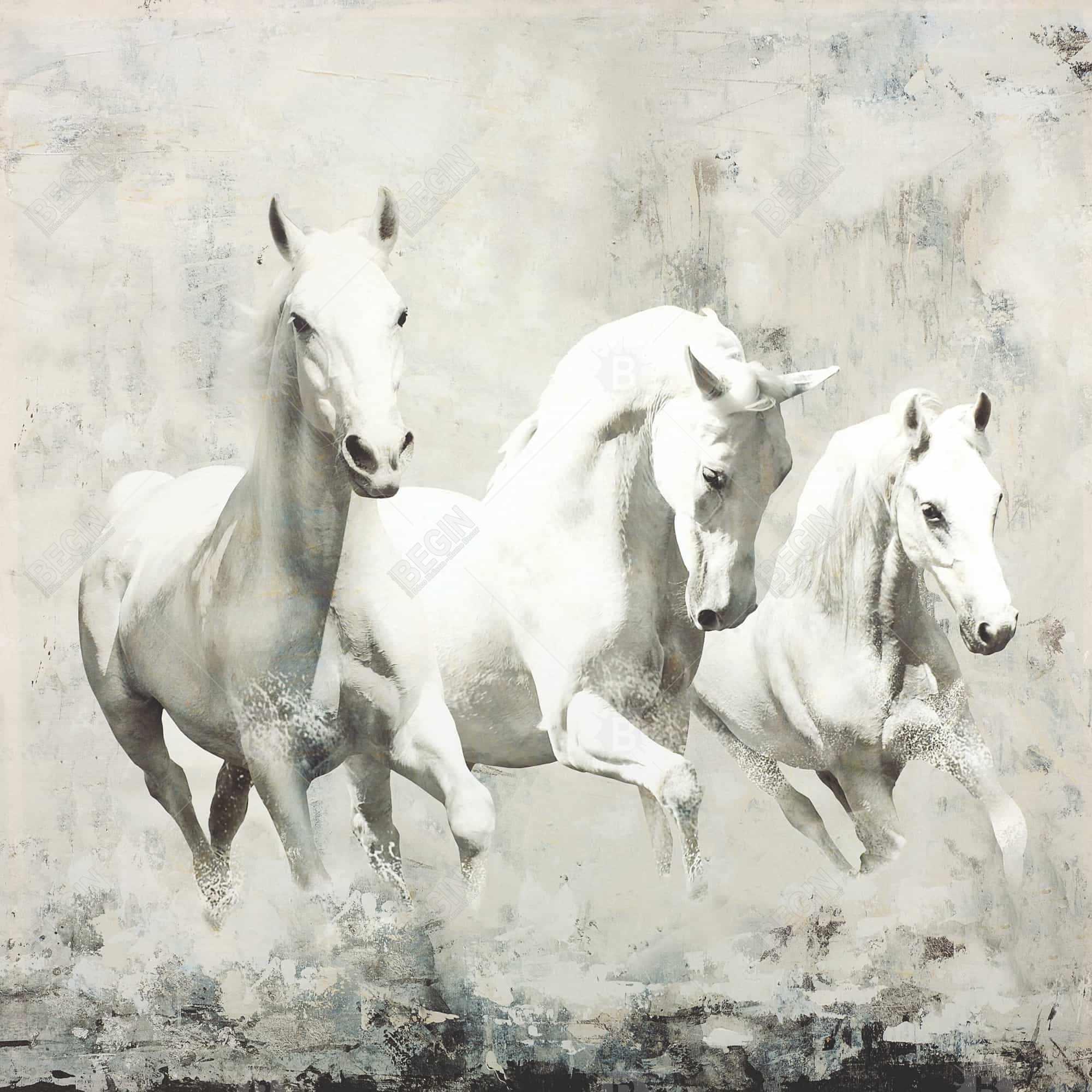 Three white horses running