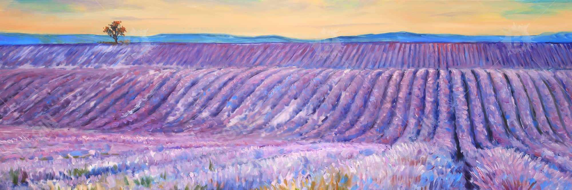 Landscape of a field of lavender