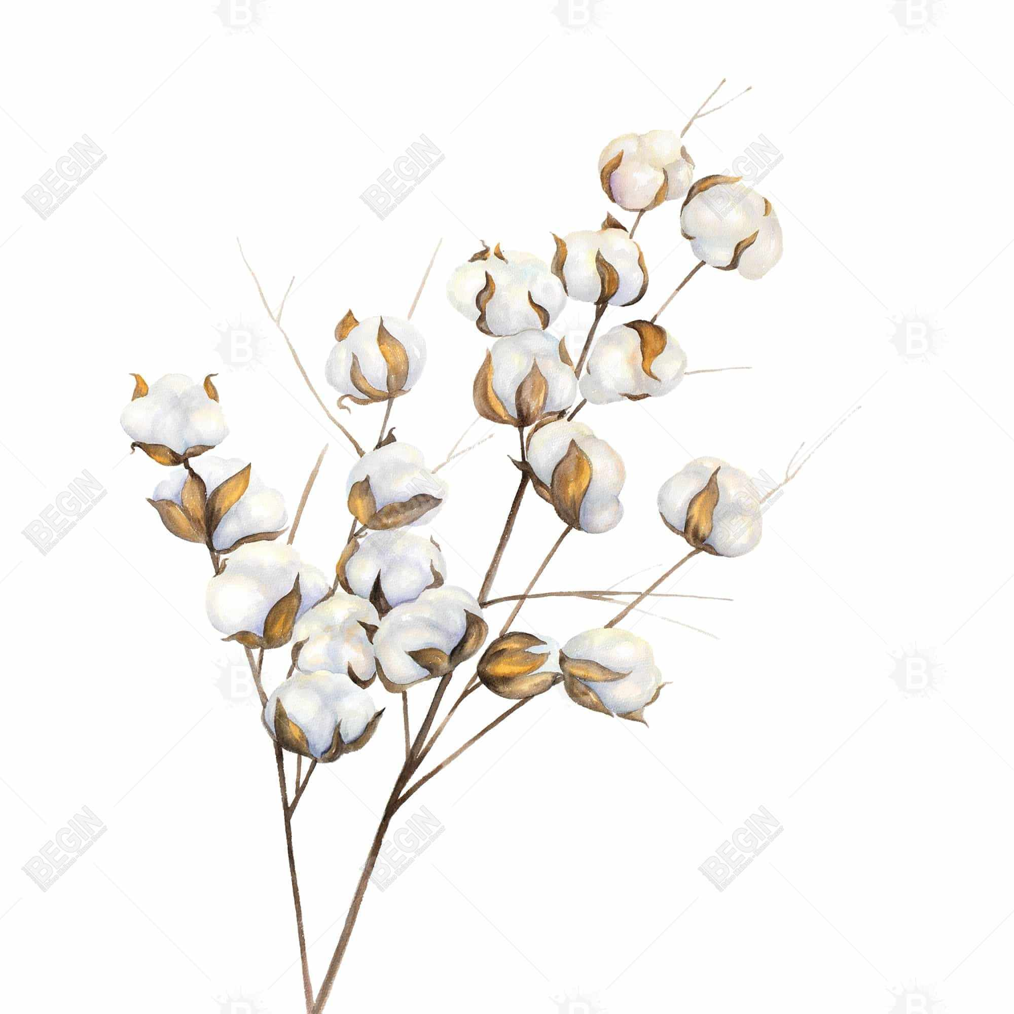 A branch of cotton flowers