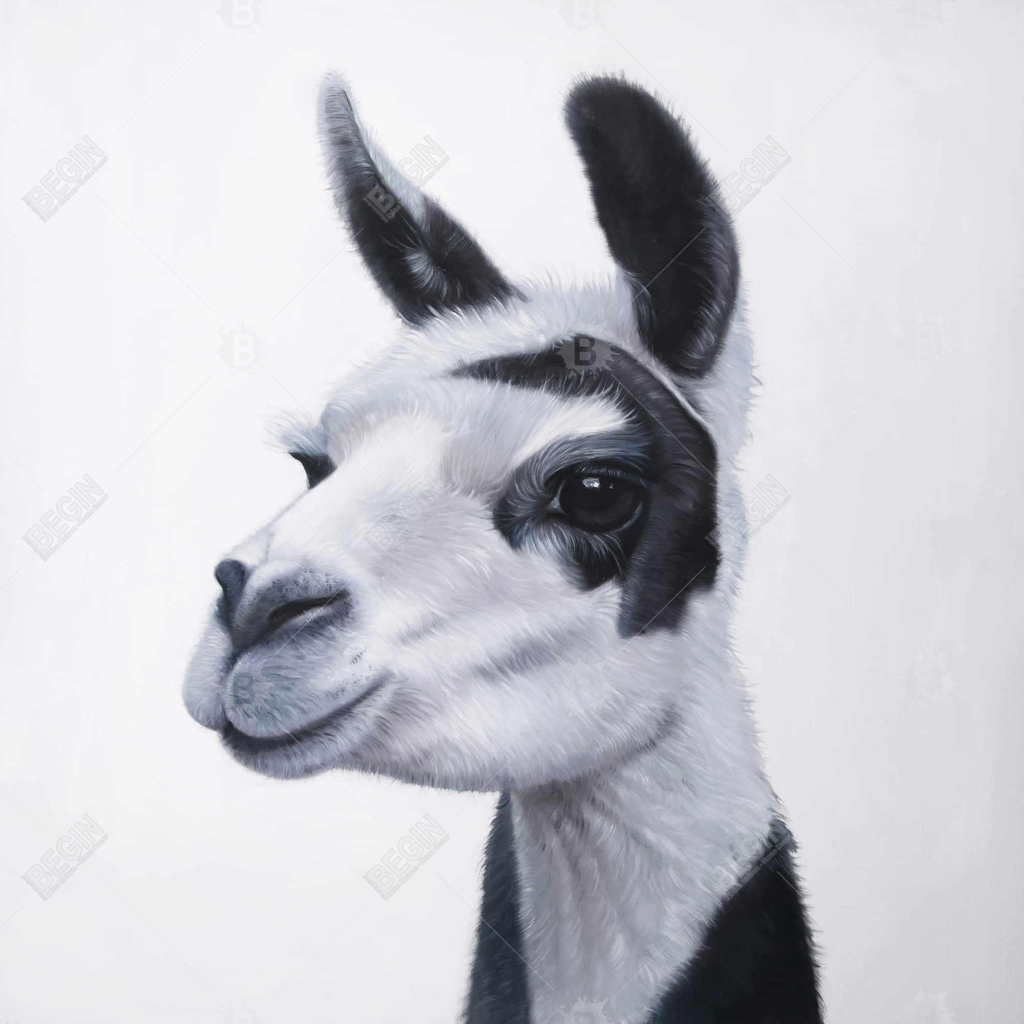 Lama noir et blanc